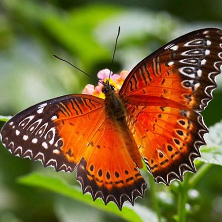 Живая бабочка Библис