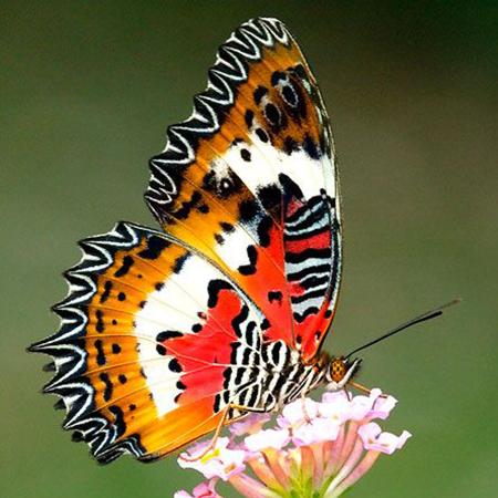 Живая бабочка Библис питается нектаром цветов