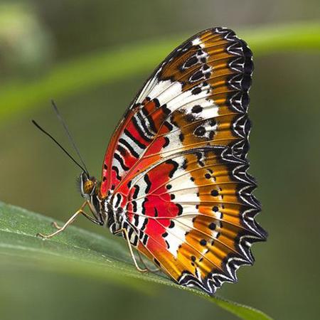 Библис живая бабочка