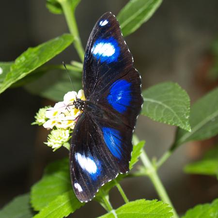 Живая бабочка Болина