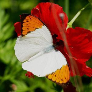 Гебомоя живая бабочка