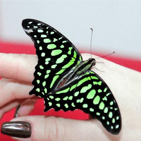 Графиум живая бабочка для подарка и сюрприза