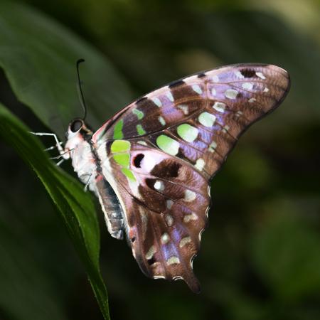 бабочка Графиум для живого салюта.
