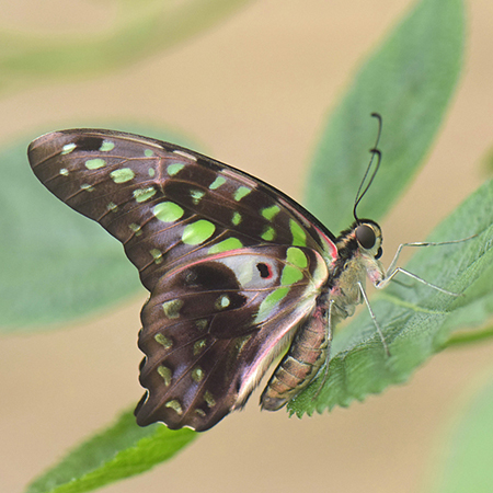 Графиум живая бабочка для салюта