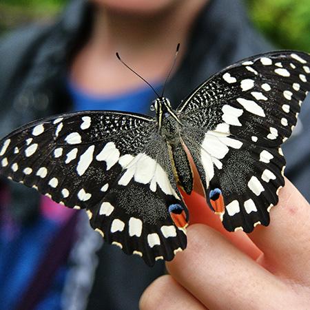 Живая бабочка для салюта Демолеус.