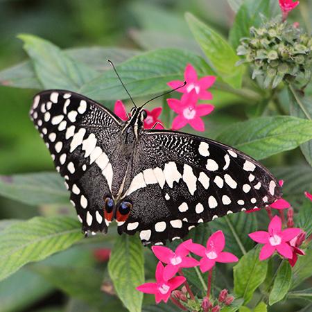 Живая бабочка демолеус для салюта.