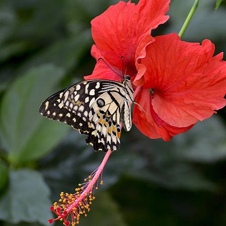 Бабочка Деиолеус - лучший выбор.