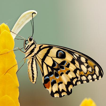 Демолеус живая бабочка для салюта из бабочек.