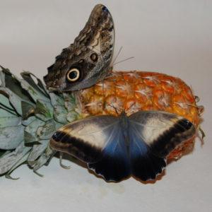 Крупная живая бабочка Калиго