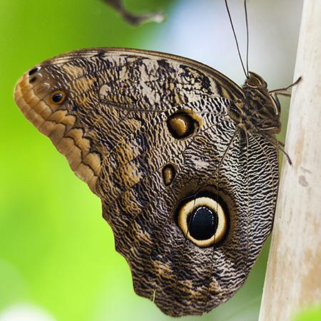Живая бабочка сова