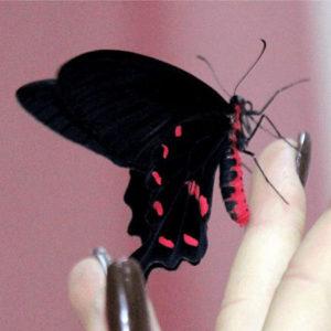 Живая бабочка Коцебуа