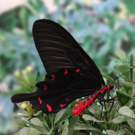 Коцебуа - бабочка страсти