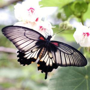 Живая бабочка Ласточкин хвост