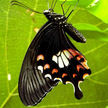 Бабочка живая Мормон.