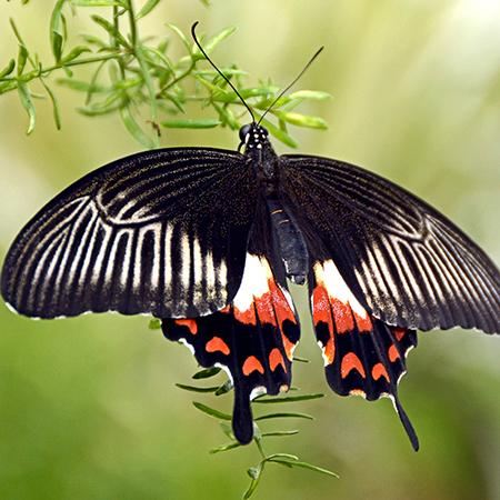 Живая бабочка Мормон