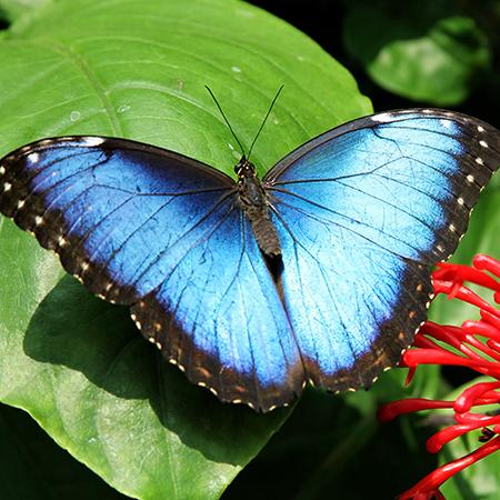 Живая бабочка Морфо с доставкой в Одессе