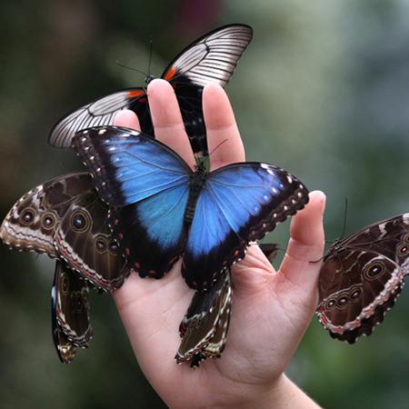 Живая бабочка Морфо