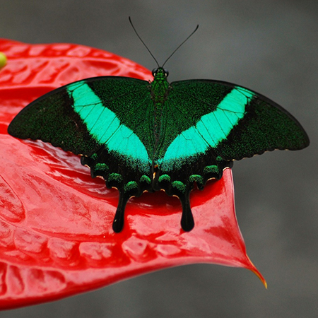 Живая бабочка Павлин