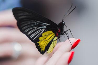 Крупная живая бабочка Птицекрылка