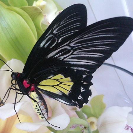 Бабочка Птицекрылка