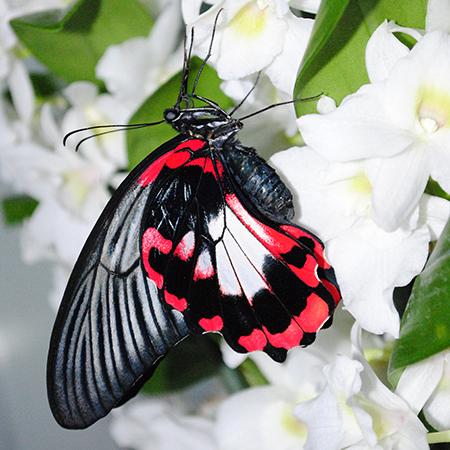 Доставить живую бабочку Румянцева