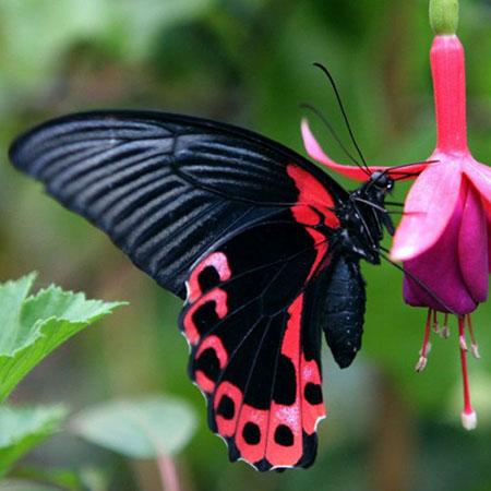 Очень красивая живая бабочка красного цвета