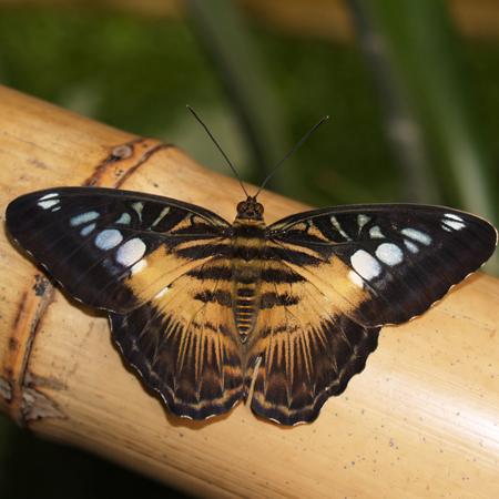 Живая бабочка Сильвия