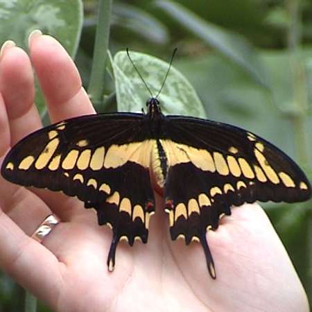 Крупная живая бабочка Тоас
