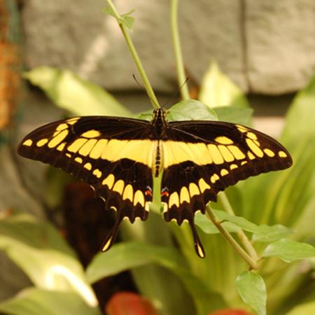 Ваш живой подарок - живая бабочка Тоас