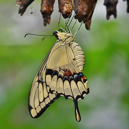 Живая бабочка Тоас - отличный подарок.