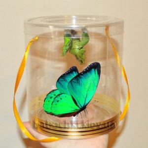 Набор куколок с живой бабочкой