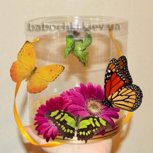 Самый лучший подарок для ребенка - живые бабочки с куколками.