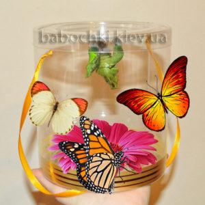 Экзотический сюрприз скуколками и живыми бабочками