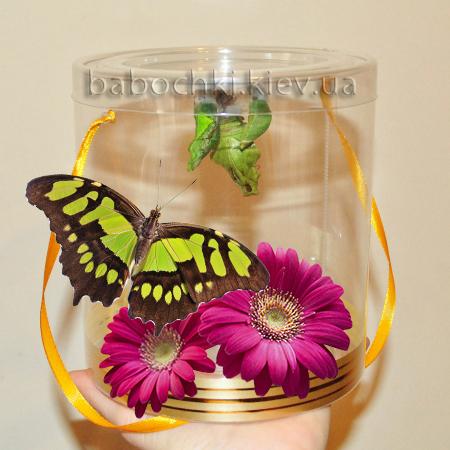 Бабочкарий - необычный подарок сюрприз с живыми бабочками