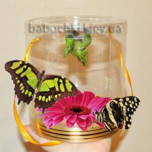 Экзотический подарок - набор куколок в прозрачном тубусе с живыми бабочками.