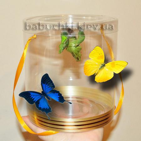 Рождение бабочек из куколок