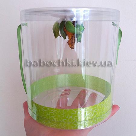 Куколки бабочек в прозрачном тубусе