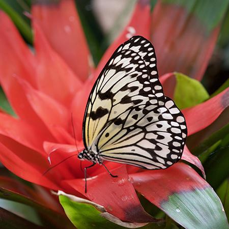 Живая бабочка Бумажный змей