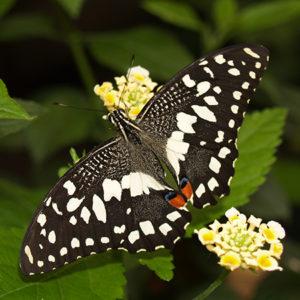 Живая бабочка Демолеус для салюта
