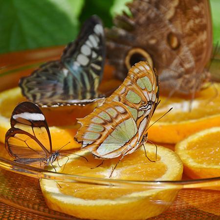 Питание живых бабочек  в природе соком перезревших фруктов.
