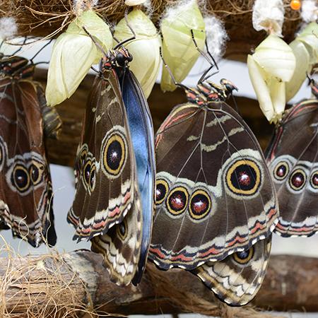 Самая первая ферма в Украине по выведению живых тропических бабочек из куколок.