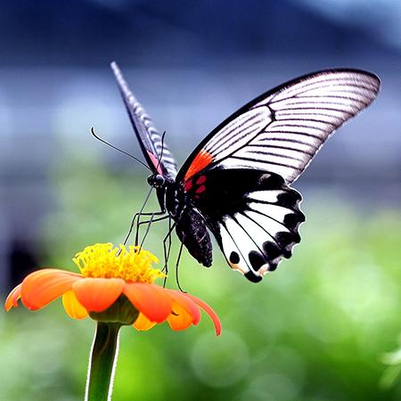 Крупная живая бабочка Ласточкин хвост