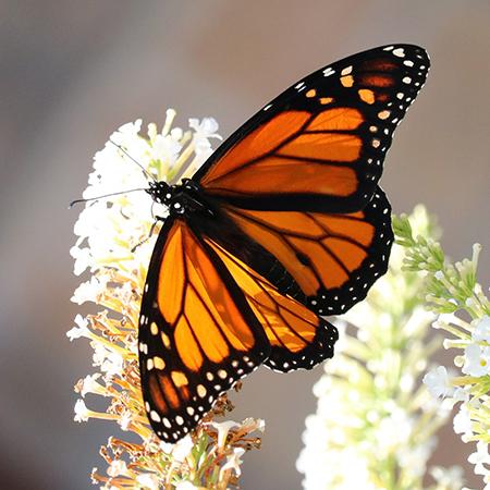 Живая бабочка Монарх