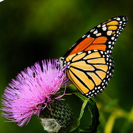 Монарх подарок с живой бабочкой