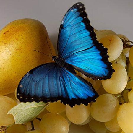 Голубые крылья бабочки морфо