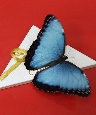 Очень красивая живая бабочка Морфо