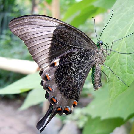Ярко зеленая бабочка Павлин