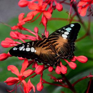 Сильвия живая бабочка