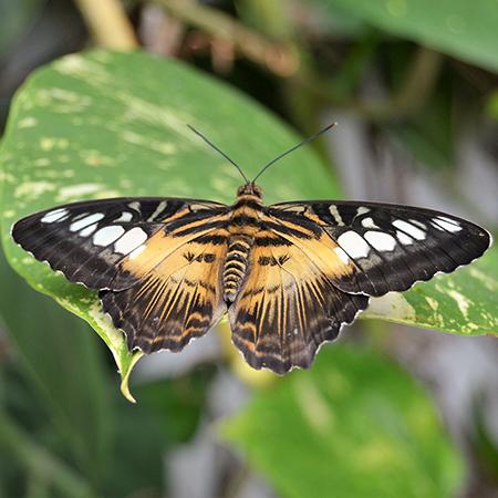 Живая бабочка Сильвия.