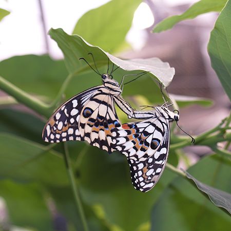 Полный жизненный цикл бабочек – яйцо-гусеница-куколка-бабочка (имаго)